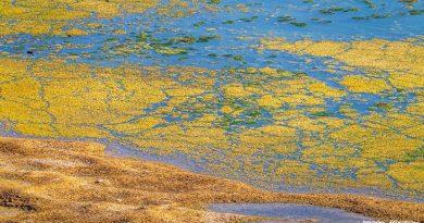 цъфнали водорасли