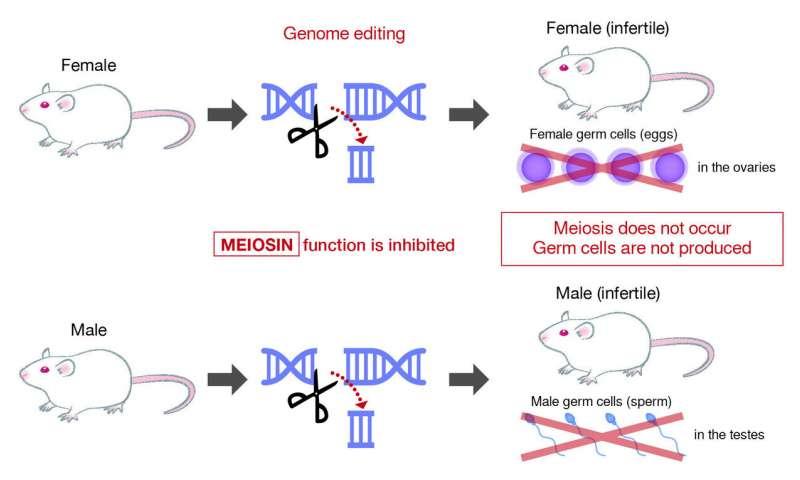 При инхибиране на гена Meiosin мишките стават безплодни