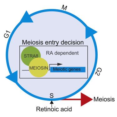 Илюстрация на ролята на гените Meiosin и STRA8