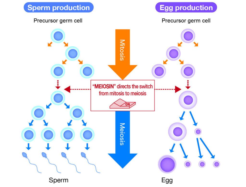 Илюстрация на механизма на превключване на деленето на клетките от митоза към мейоза
