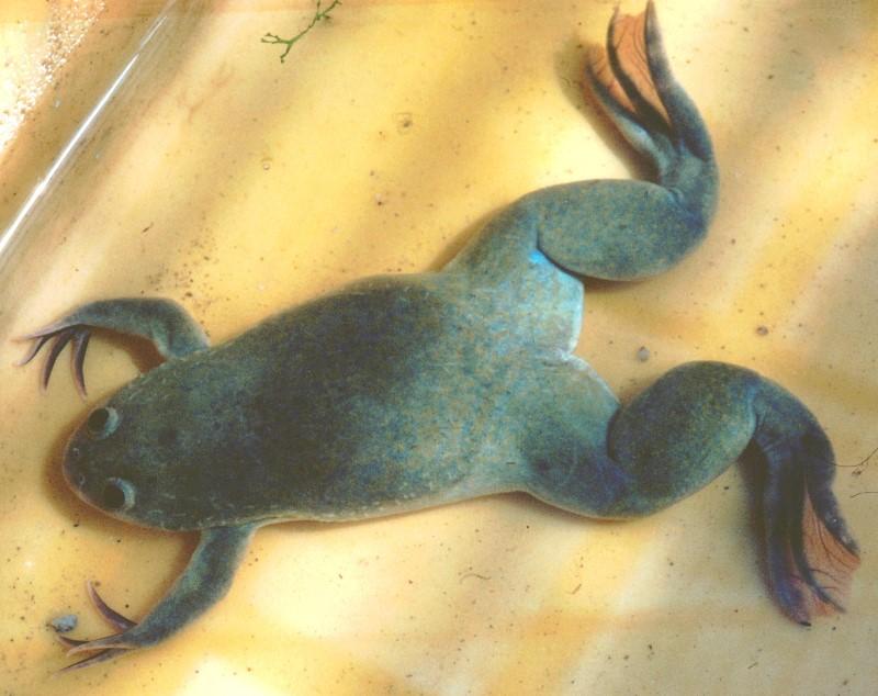 Африканската жаба Henopus laevis