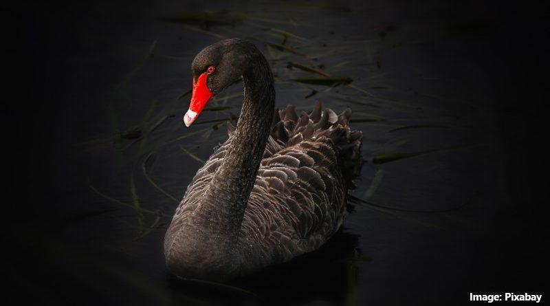 черен лебед